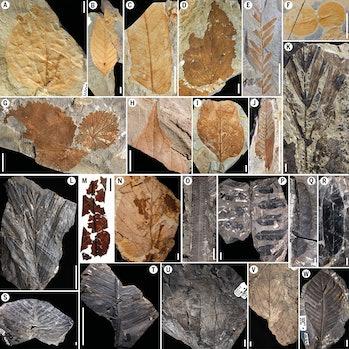 leaf fossils