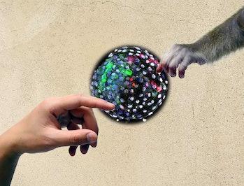 human monkey chimera embryo hybrid
