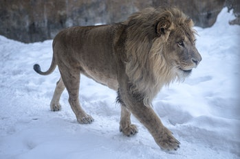 Lion pacing on snow