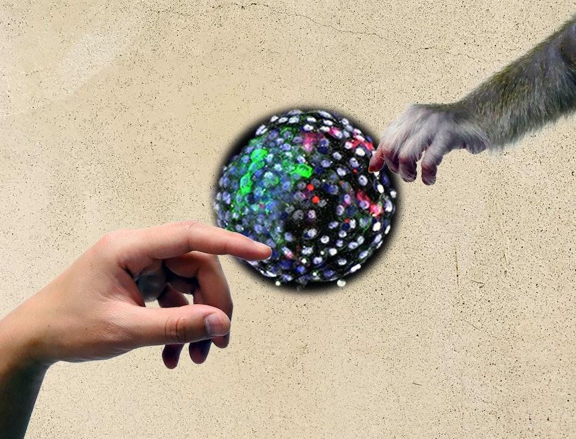 adam meets god monkey human embryo chimera