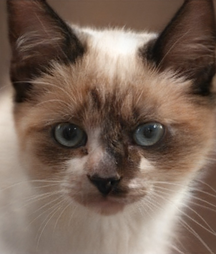 A cat generated by an artificial intelligence from thiscatdoesnotexist. AI. Deepfake. GAN.