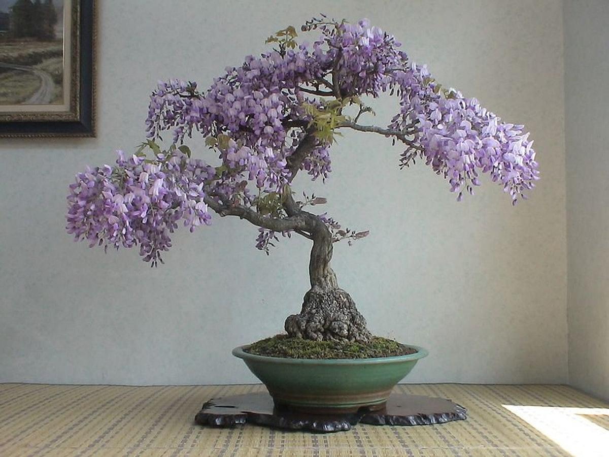 Bonsai Tree Chinese Wisteria Tree Seeds, 10 Pack