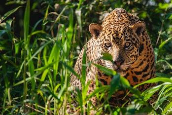 Wild jaguar in Brazil staring through leaves