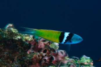 bluehead wrasse swimming