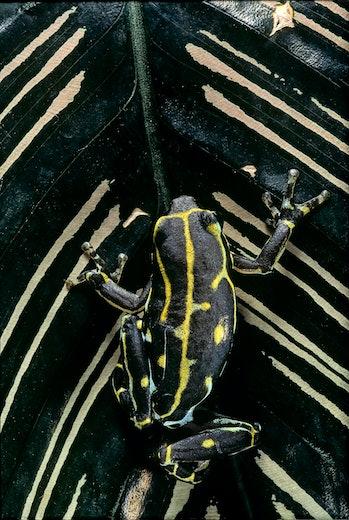 Hyperolius viridiflavus (common reed frog) on leaf.