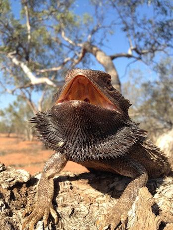 Beared dragon in desert