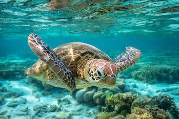 green sea turtle swimming in great barrier reef