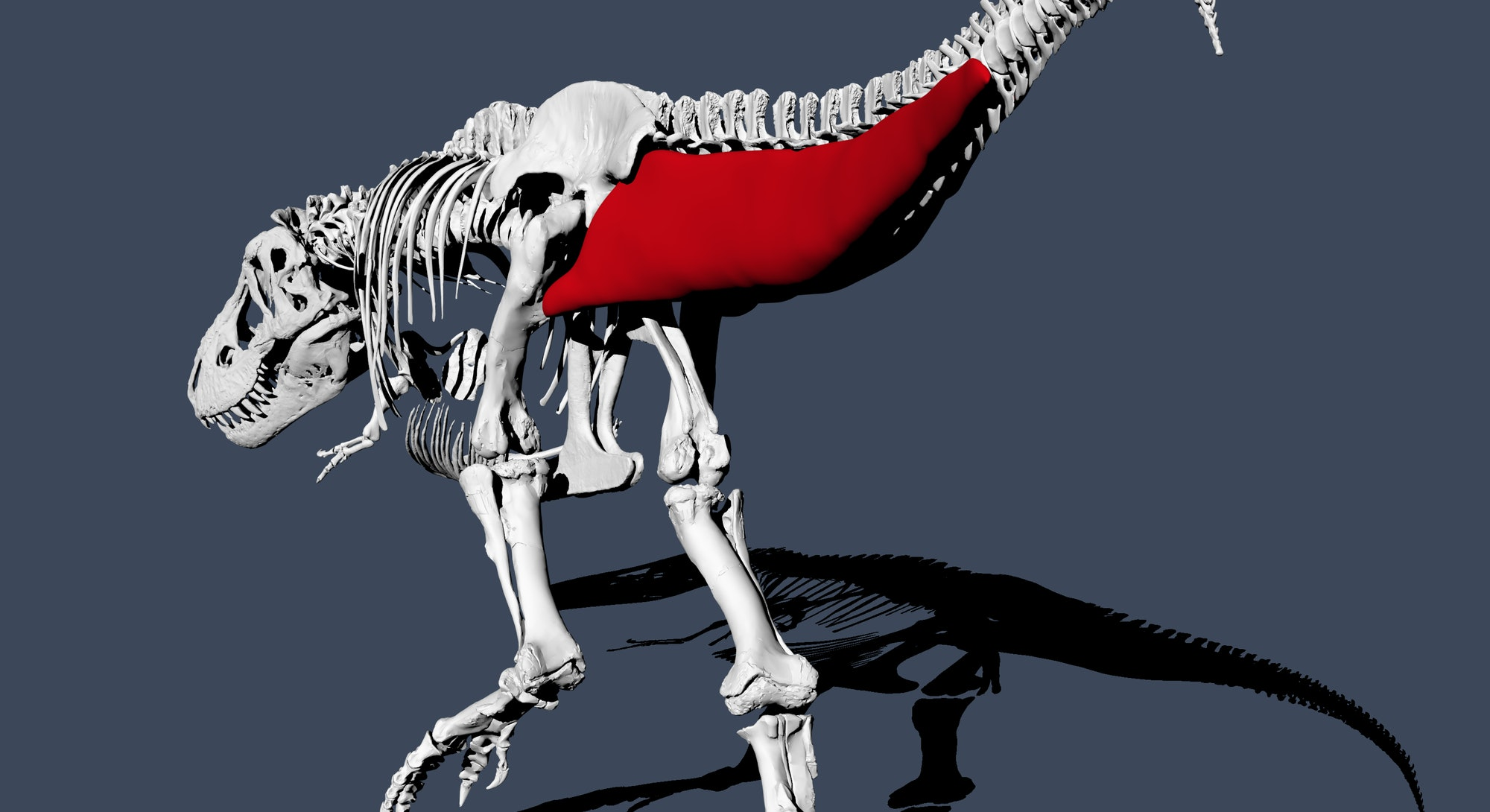3d reconstruction of t. rex tail
