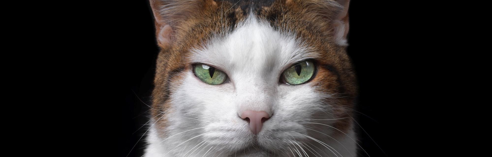 Grumpy pet cat