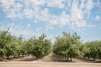 Rows of almond trees in a monoculture