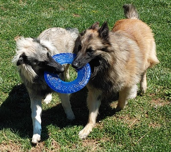 Two puppies gripping a toy