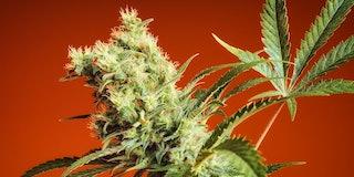 CBD, hemp plant