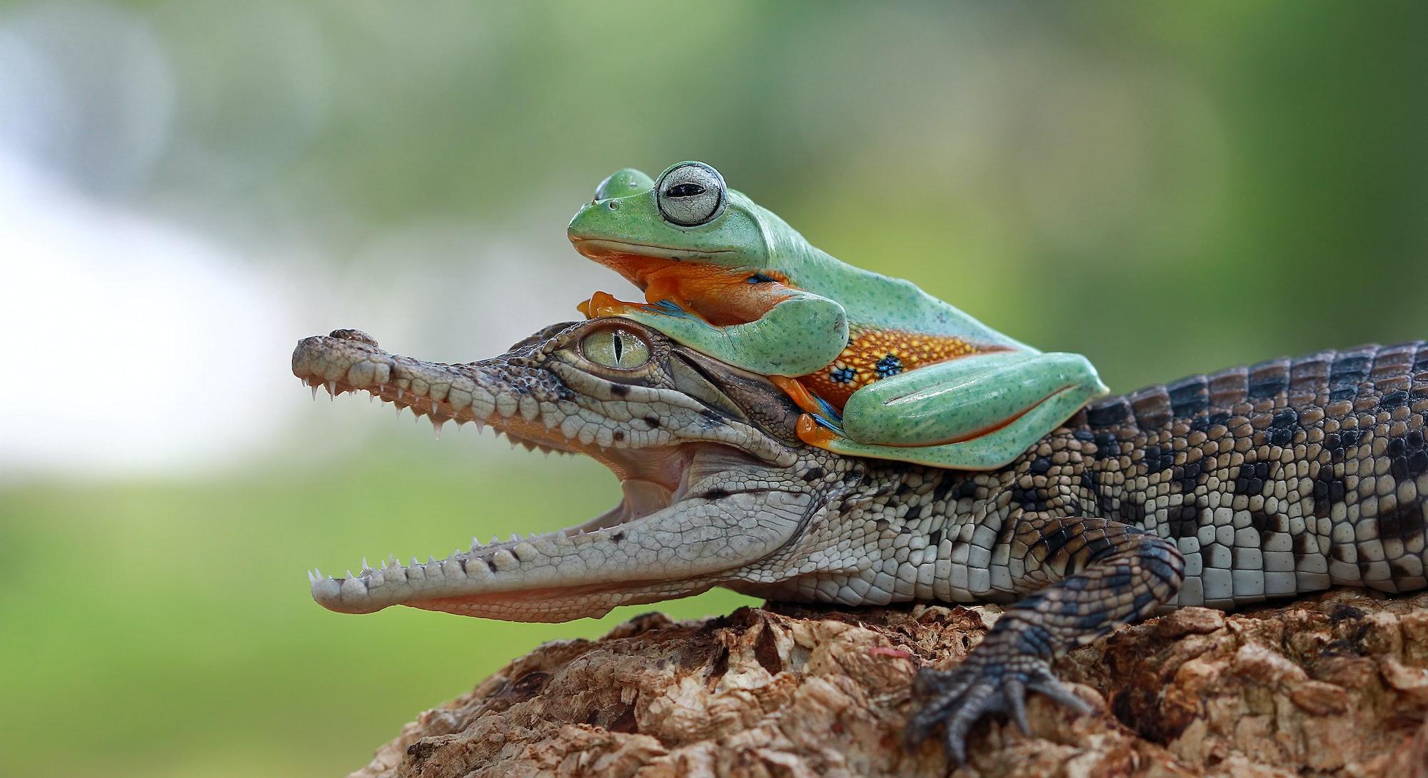 Tree frog sitting on tiny crocodile