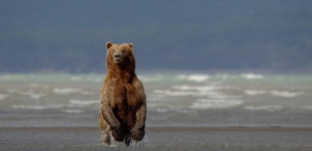 Disney's documentary, Bears, is streaming on Disney+.