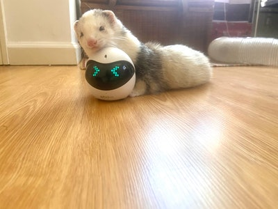 A ferret rests her head on the Ebo Pro robot