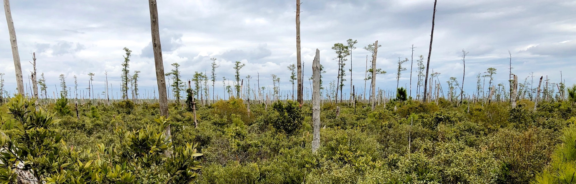 Ghost forest panorama in coastal North Carolina.