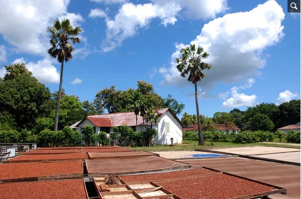Beans dry in the Sun at a plantation in Madagascar, and microbes invisibly do their work.