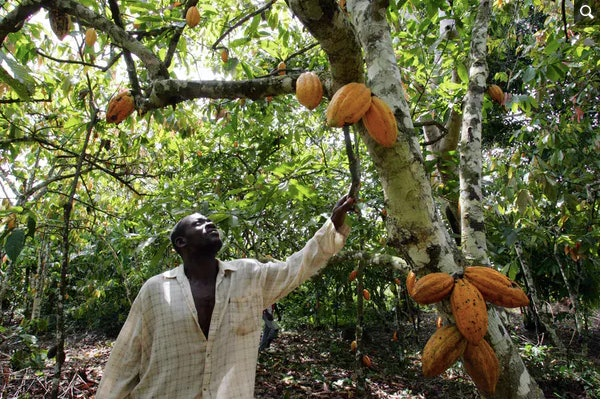 A plantation owner in Ivory Coast checks the pods on one of his cacao trees