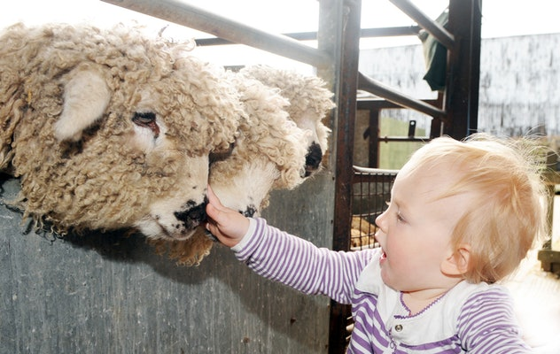 baby petting sheep