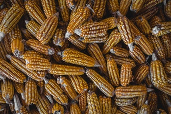 maize or corn as diet ancient microbiome
