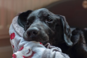 Resting dog with cancer