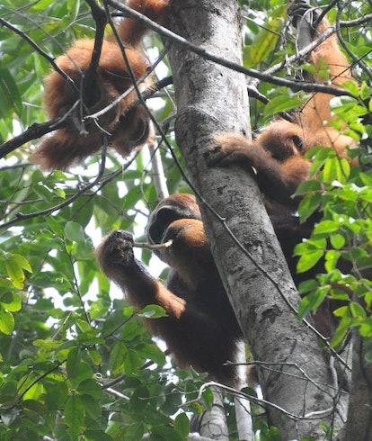 Orangutan teenagers in a tree interacting together