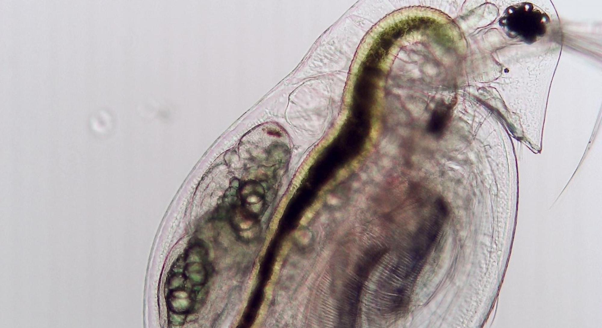 A zooplankton (Daphnia dentifera) not infected by fungal parasite Metschnikowia bicuspidate.