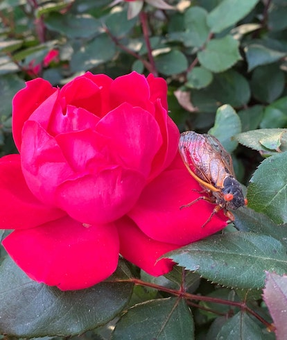 A cicada sitting on a rose that matches its eyes