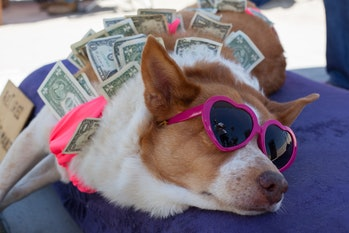 Dog wearing sunglasses surrounded by dollar bills
