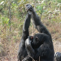 Are we done with handshakes? Not quite, according to chimps