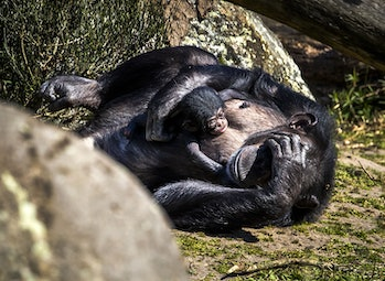 Mother chimpanzee with baby