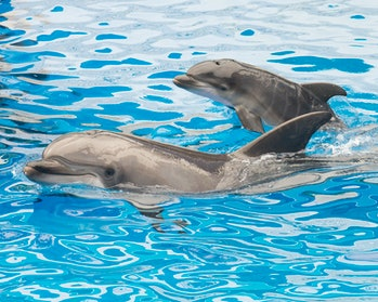Bottlenose dolphin mother and newborn calf swimming together