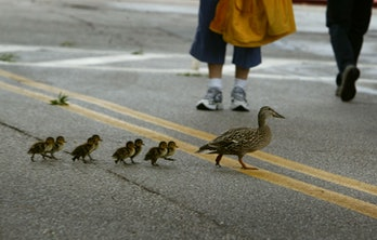 Mother duck guiding chicks on a busy street