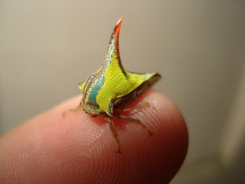 Treehopper positioned on human finger for scale