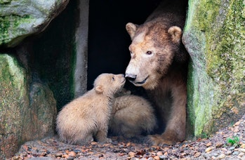 Mother bear touching nose of baby bear