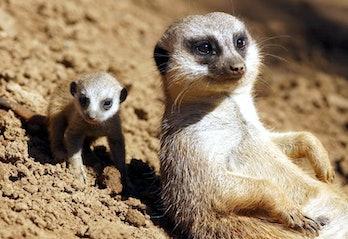 Meerkat mother and pup in dirt