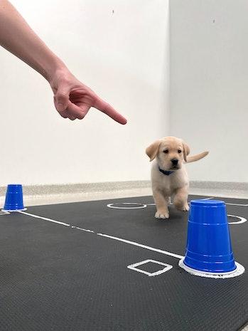 Puppy follows finger to find hidden food