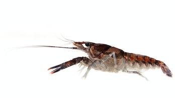 Crayfish close-up