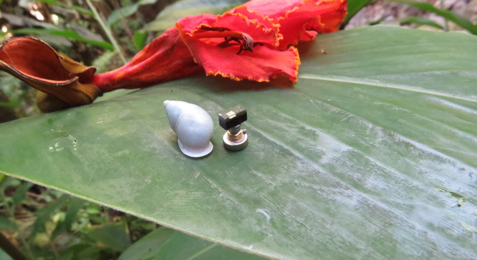 A small white-shelled snail resting on a leaf next to a miniature computer.