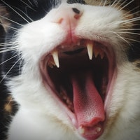 Are you supposed to brush your cat's teeth? Pet experts explain
