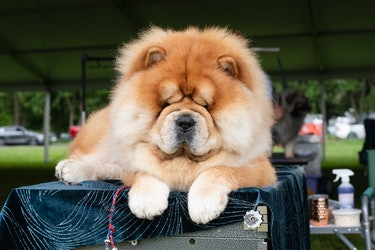 Chocho the Chow Chow is a king.
