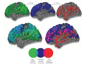brain development, thinning and cannabis receptors overlap