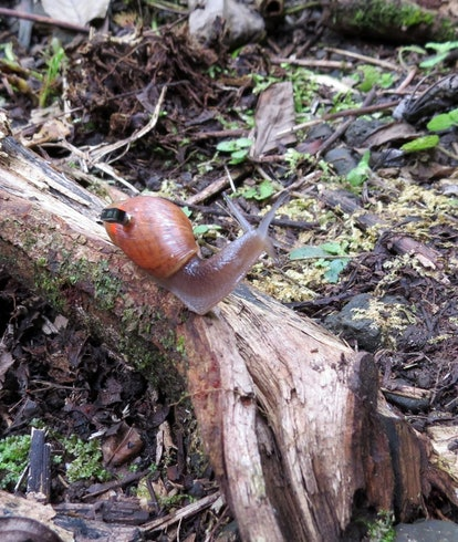 A rosy wolf snail equipped with the Micro Mote on its back.