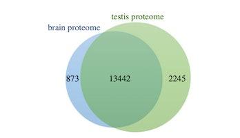 venn diagram of proteins brain and testes