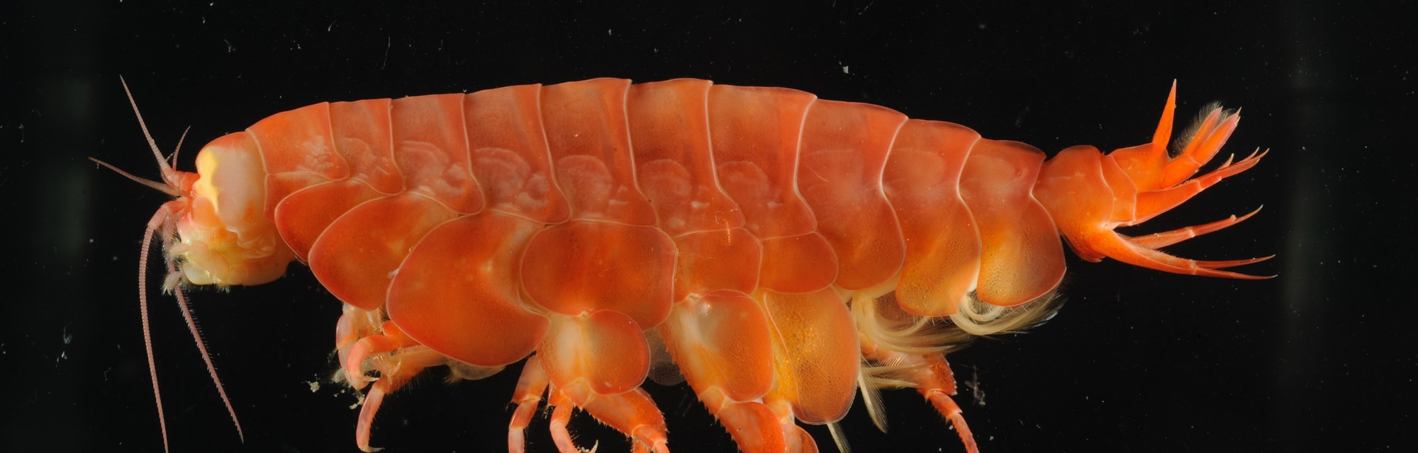 Eurythenes atacamensis, a giant scavenging amphipod from hadal depths of the Peru-Chile Trench.