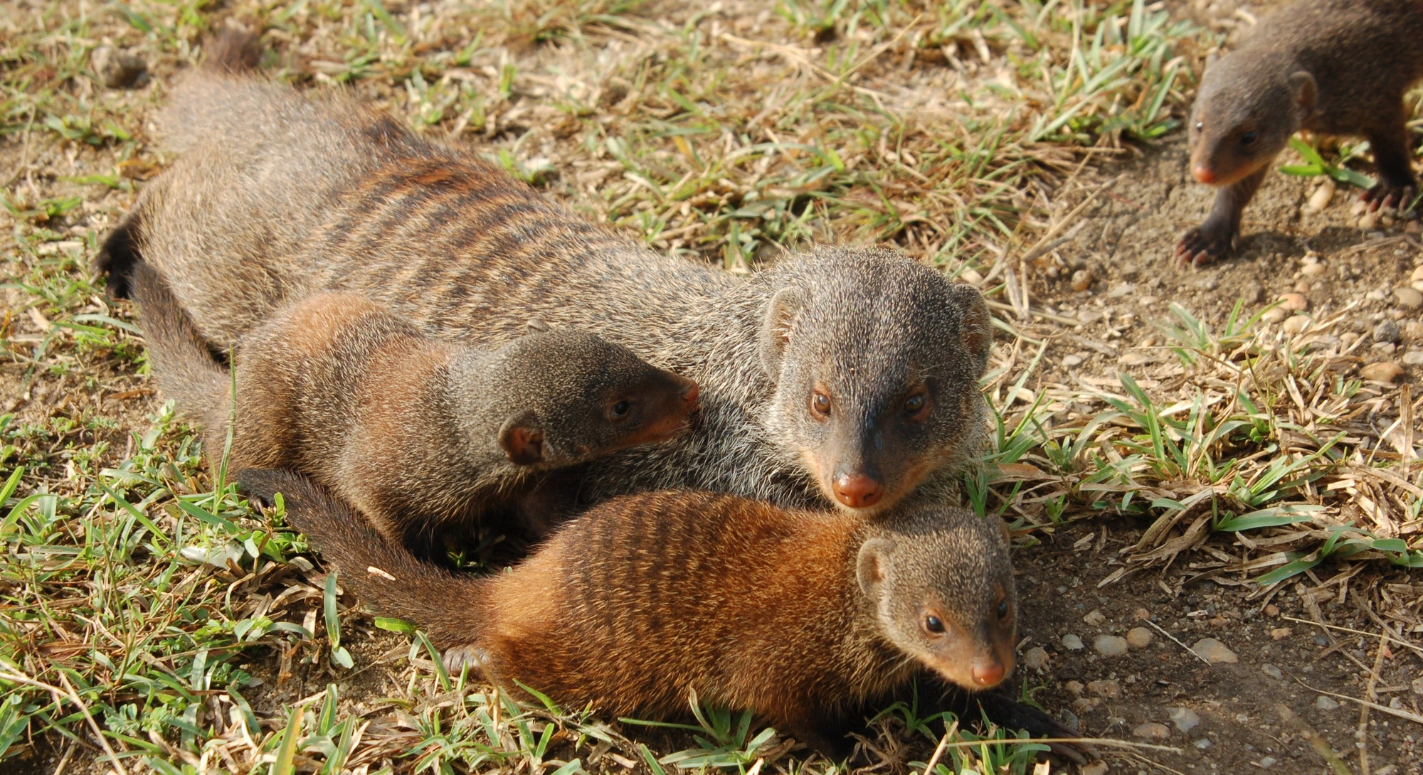 A mother mongoose sits with two babies