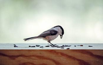 A tit chickadee eating seeds