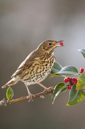 Song thrush bird eating holly