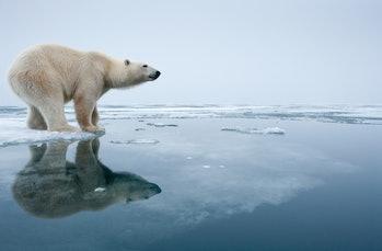 Polar bear on melting ice in Svalbard