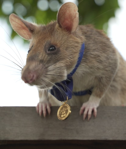 Magawa, a large rat with light brown fur, sits on a fence with a gold medal around his neck.